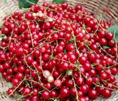 Что приготовить из красной смородины?