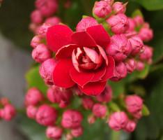 Почему не цветёт калахоэ?