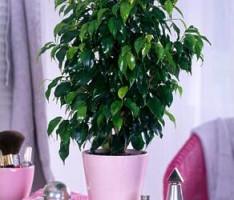 Почему опадают листья у фикуса?