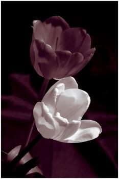 Как получить тюльпаны к празднику?