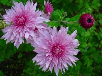 Как хранить хризантемы зимой?