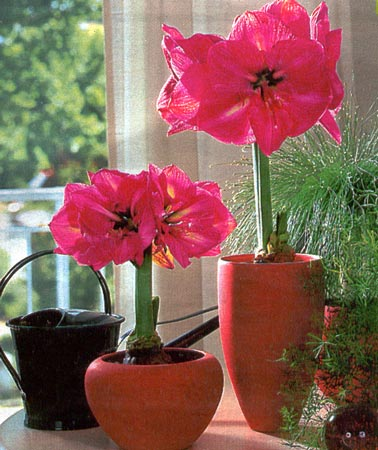 Как вырастить гипеаструм?