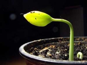 Как вырастить хурму из косточки?