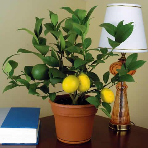 Выращивание и уход за лимонами в домашних условиях