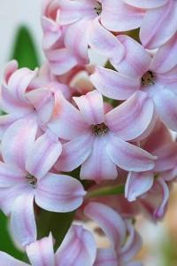 Гиацинт: выращивание в домашних условиях