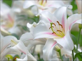 Как выращивать лилии