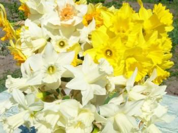 Нарциссы: выращивание