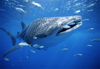 Самая большая рыба