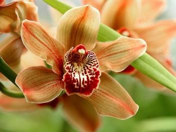 Почему орхидея не цветет