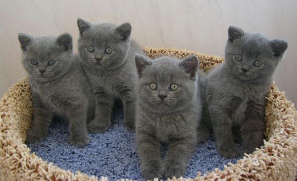 фото кот английской породы