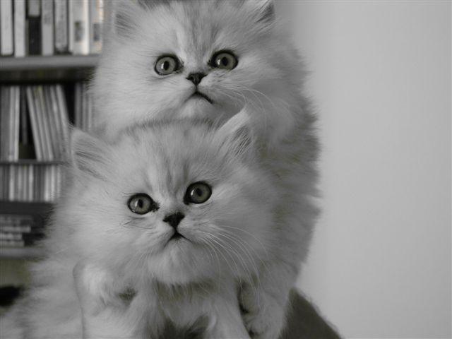 порода шиншилла кошка фото