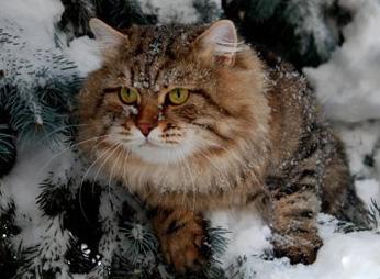 Крупные породы кошек