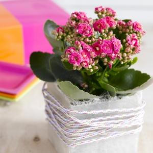 Почему не цветёт калахоэ