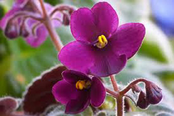 Почему фиалки не цветут