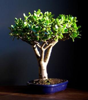 Денежное дерево: фен-шуй