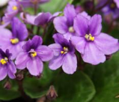 Почему фиалки не цветут?